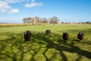 Arbre a moutons - Crail - Ecosse