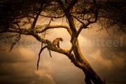 Léopard - Tanzanie - Parc national du Serengeti
