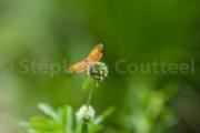 Papillon lucine - Guyane