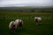 Moutons de la ferme eolienne - Grand Nord - Ecosse