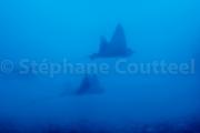 Raies pastenagues - La Reunion sous marine